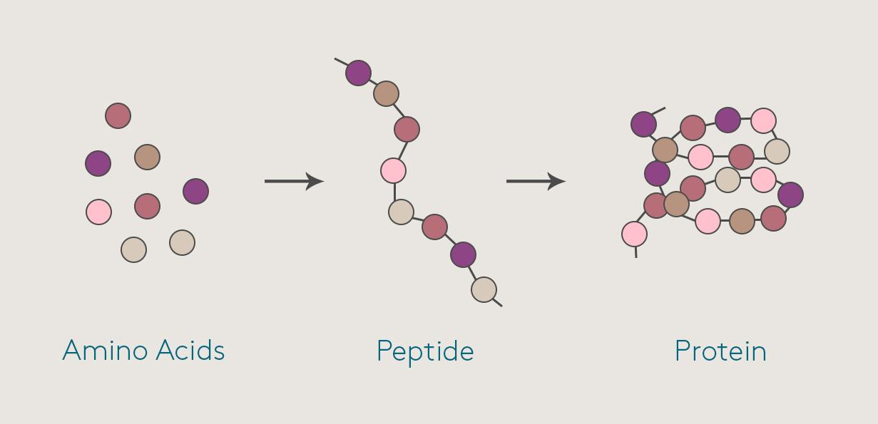 Peptide là một thành phần đặc trị làm sáng da, tăng tuần hoàn máu