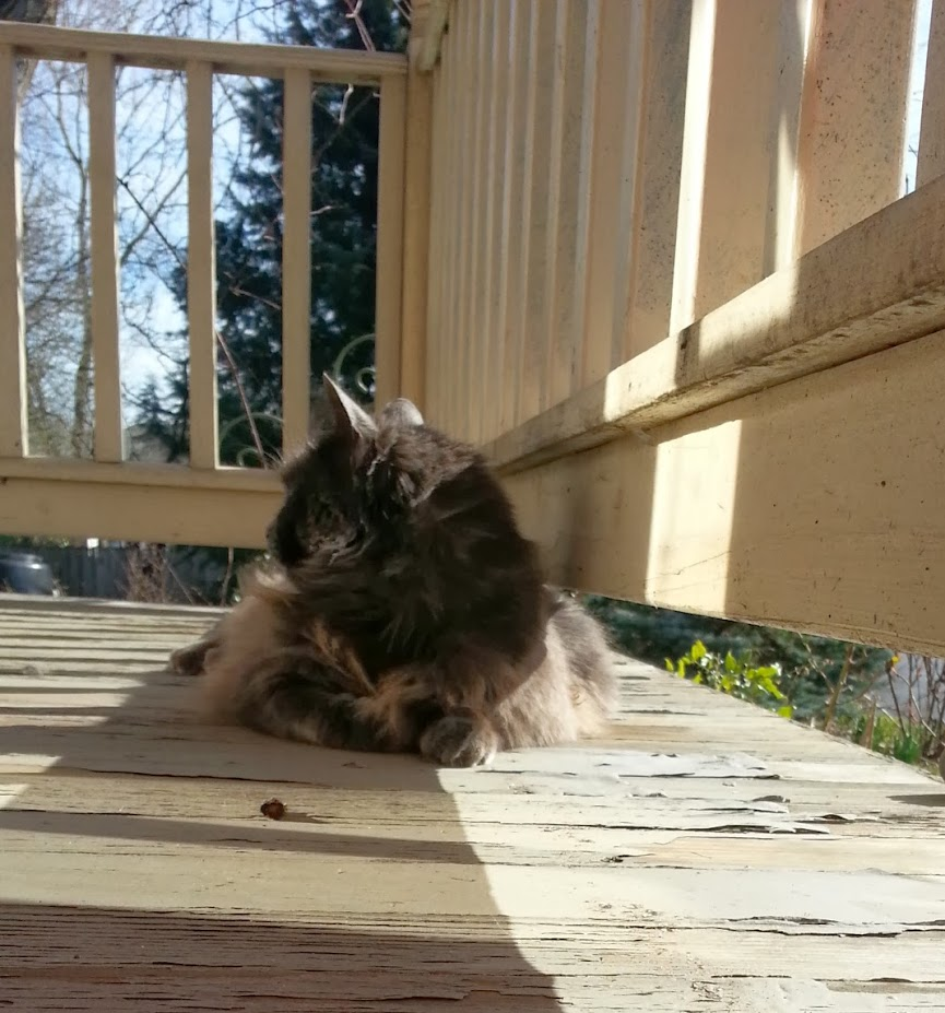 Graydie the gray cat sitting in the sun on the porch