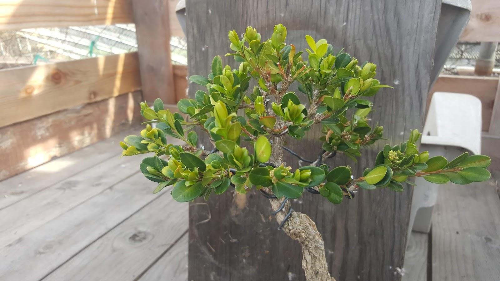 Buxus microphylla bonsai