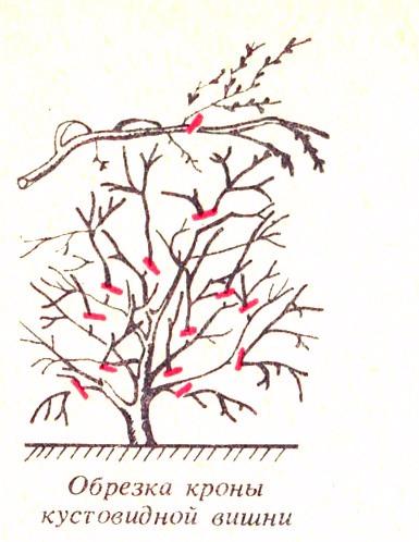 Формирующую обрезку войлочной вишни