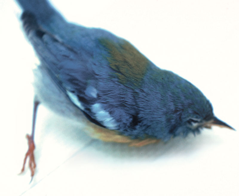 A palm warbler (Dendroica palmarum) with pesticide toxicosis demonstrating incoordination