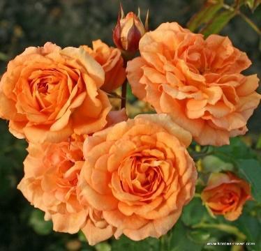 Bentheimer Gold® | Floribunda Roses | Plant-o-fix | Delivery Type | Garden  roses | Rosen-Kordes