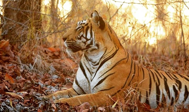 Satpura national park ( best place for adventurous places for tiger safarI) Tiger in a mood to rest.