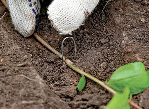 Размножение кизильника делением куста