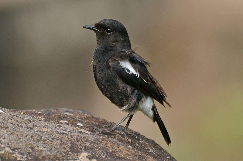 File:Pied bush chat (Saxicola caprata)male from nilgiris DSC 1123.jpg