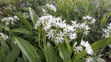 wild garlic in flower in sussex