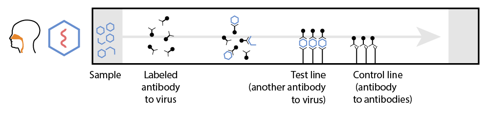 """This is a diagram showing the function of a lateral flow assay: sample on left, labeled antibody to a virus moves along the test to a """"test line"""" (another antibody to the virus) and a control line (antibody to antibodies)."""