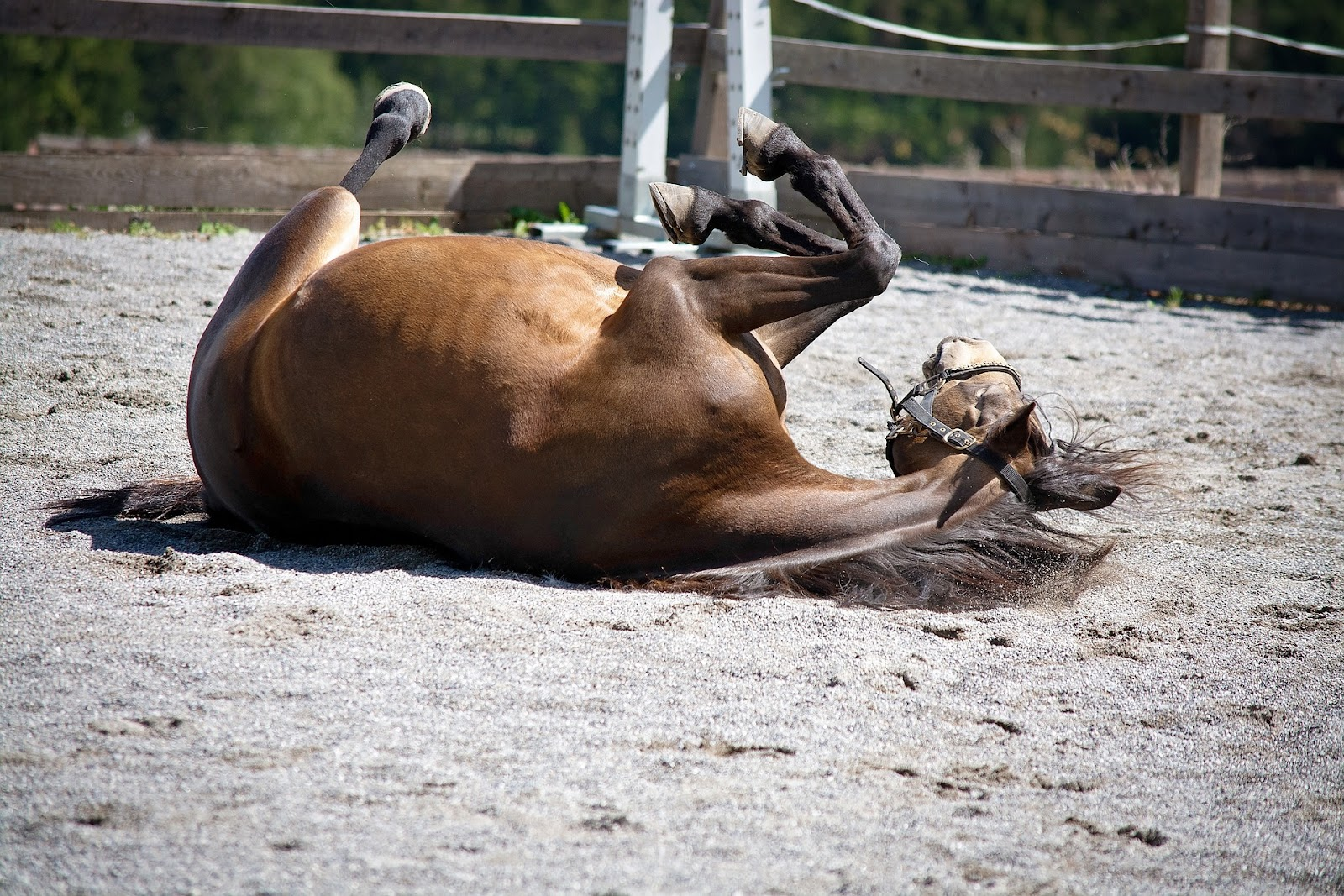 A bay horse rolls in a sand ring