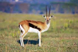Gazelle Facts - Animals of the World - WorldAtlas