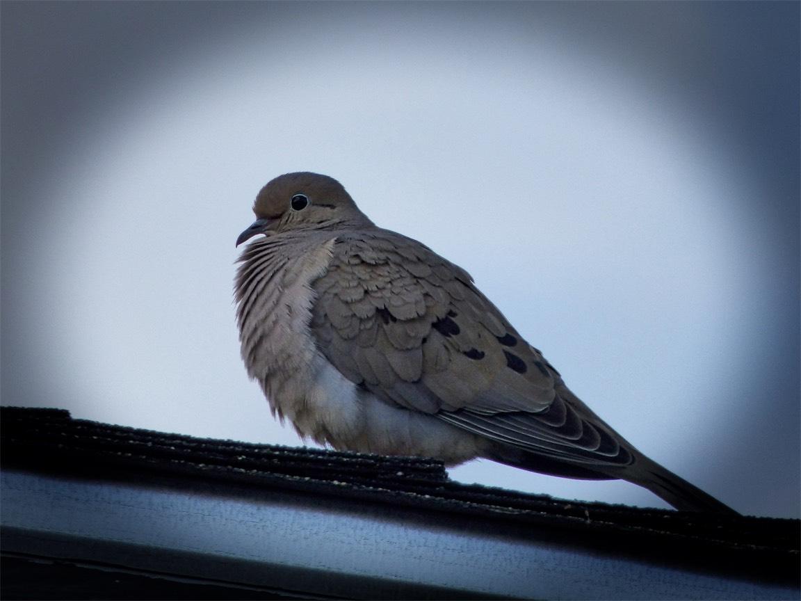 Dove from JPG.jpg