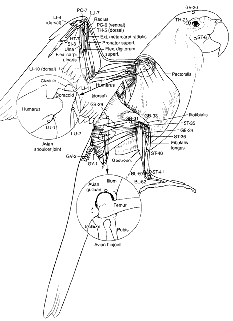 Acupuncture points of birds, lateral view