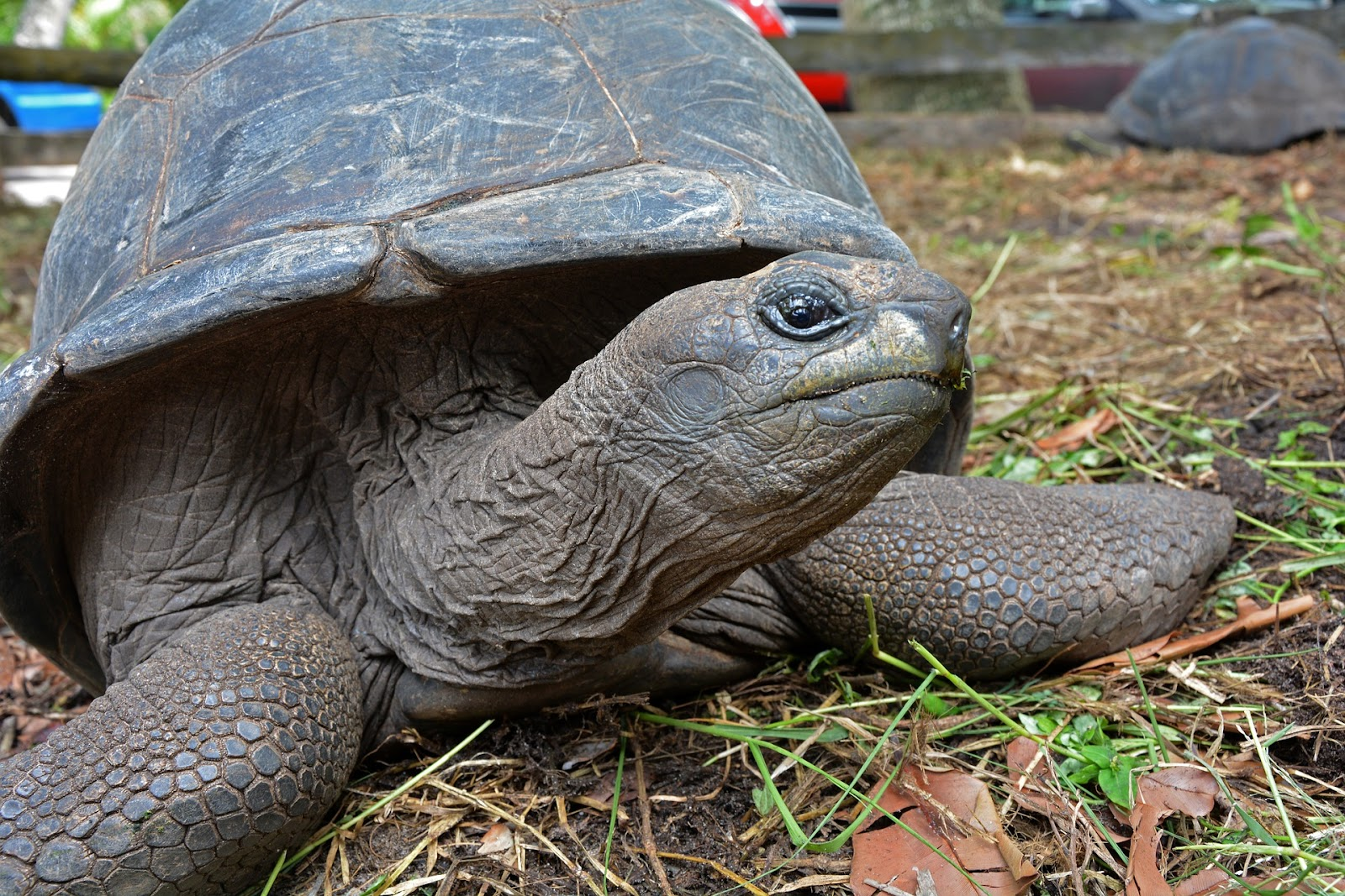 Tortoise outside looking into camera