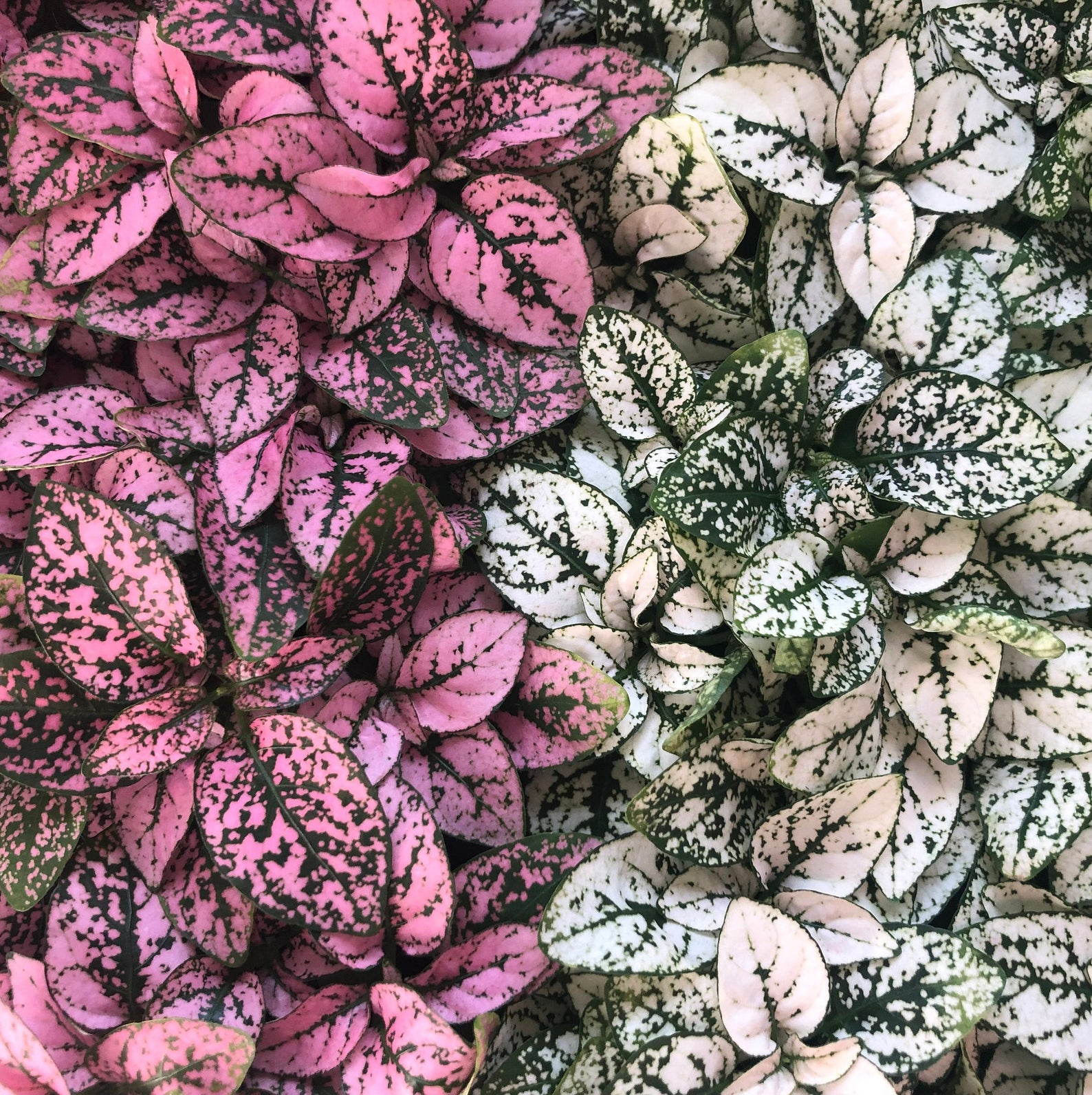 Pink and white polka dog plants | Indoor plants for dogs