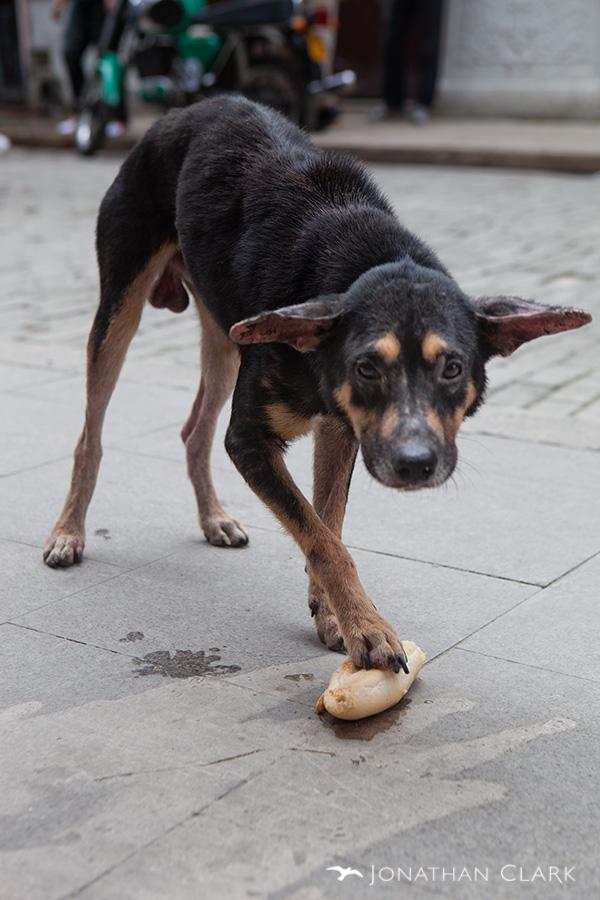 """Гладно бездомно куче го чува најдениот """"оброк"""" со видливи знаци за страв, болест и неухранетост. [ФОТО: Johnathan Clark I HAVANA, Cuba]"""