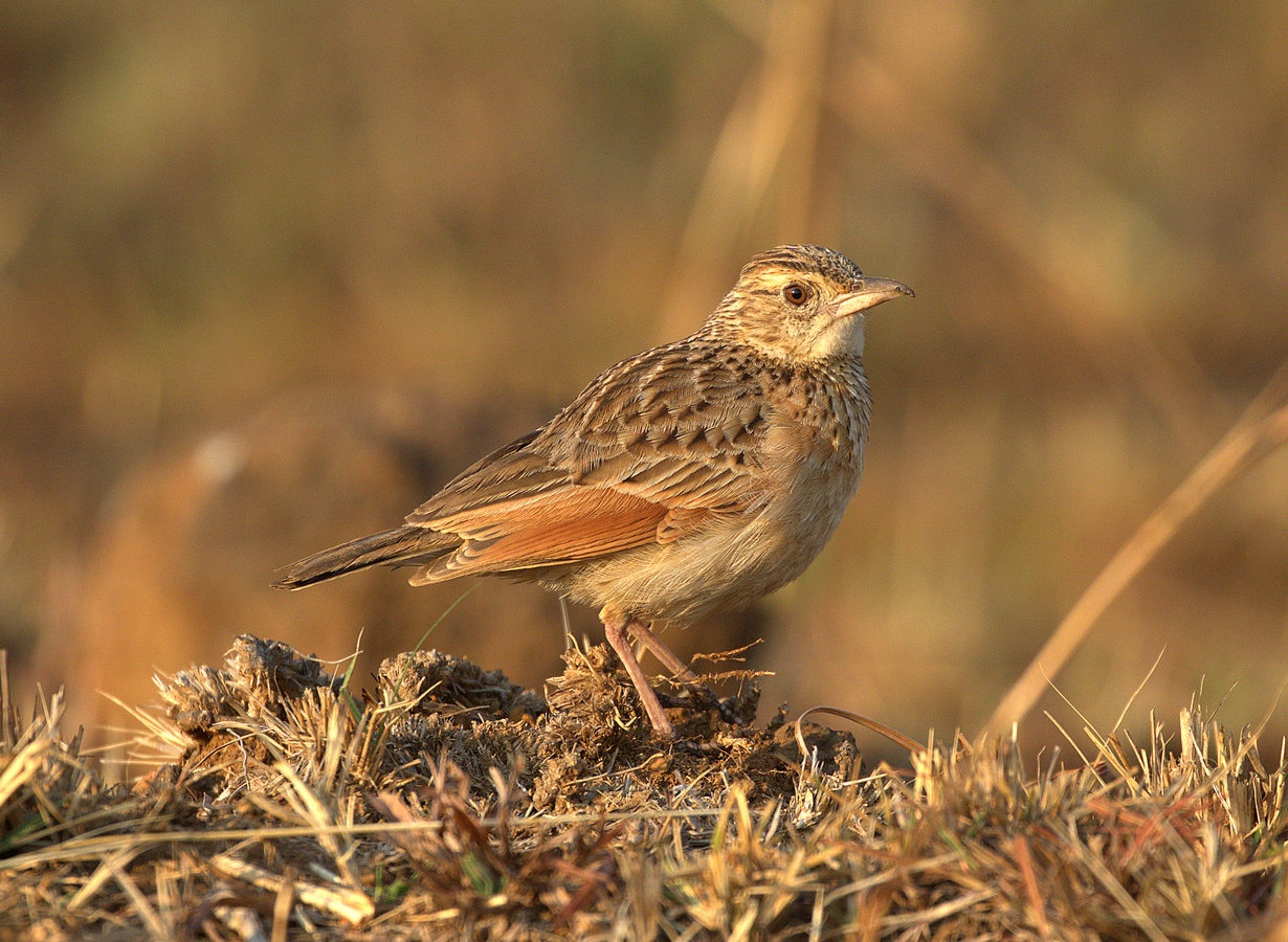 easternclapperlark (Copy).jpg