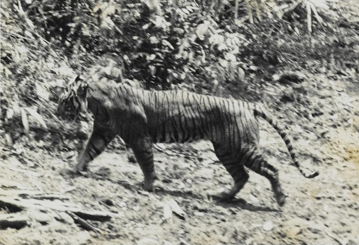Résultat d'image pour Javan Tiger