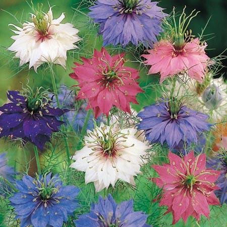 hạt giống hoa nhật bản