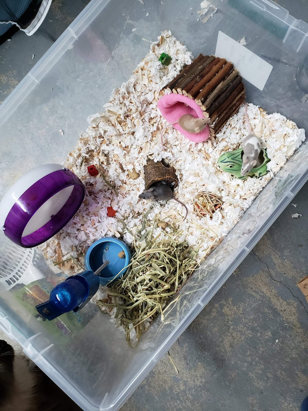 hamster mouse mice rat in a cage by itself dopamine happy rat