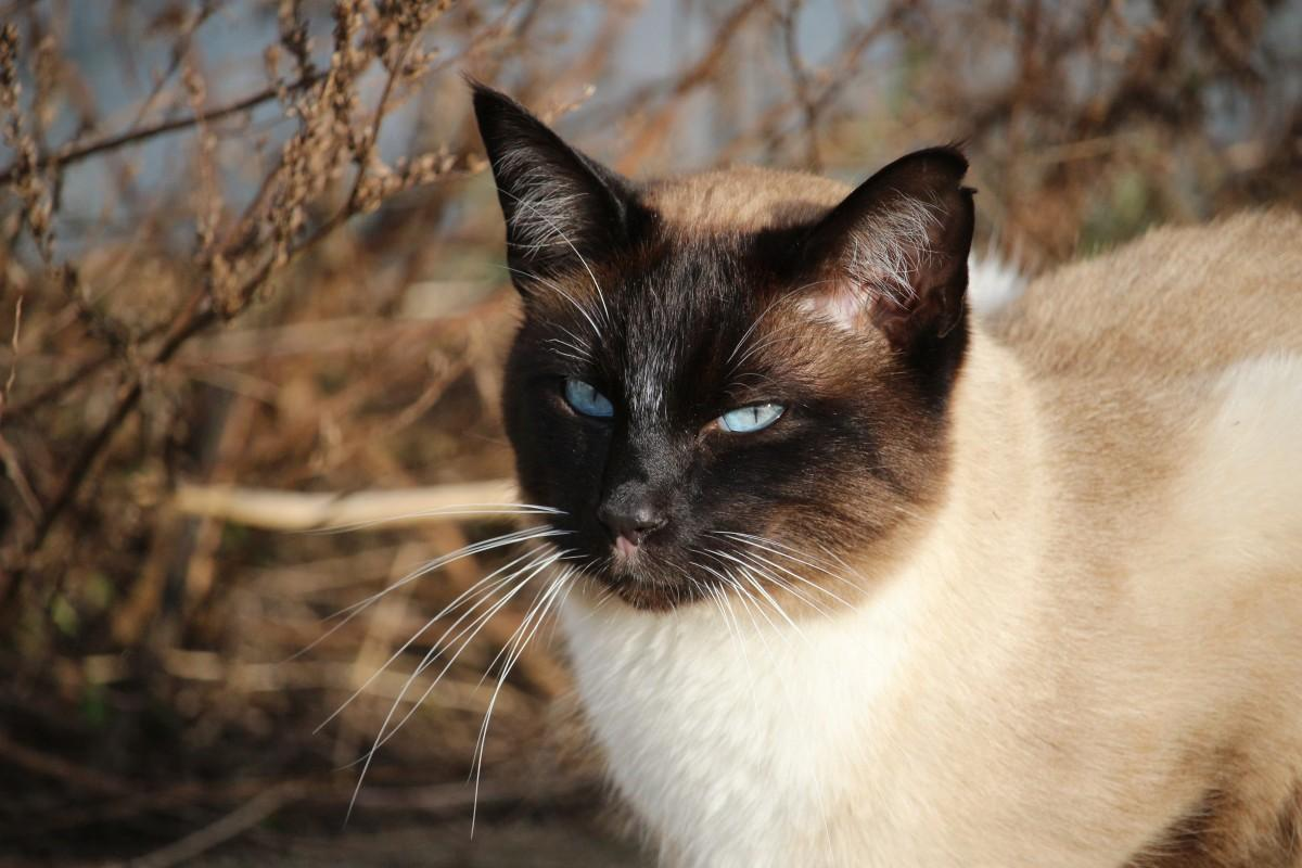 cat, mammal, fauna, siam, whiskers, vertebrate, mieze, thai, siamese, siamese cat, breed cat, cat portrait, balinese, european shorthair, small to medium sized cats, cat like mammal, domestic short haired cat, tonkinese