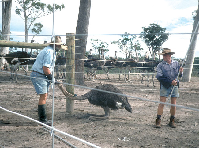 """Capture and restraint of an ostrich using a """"shepherd's crook"""" and a hood"""