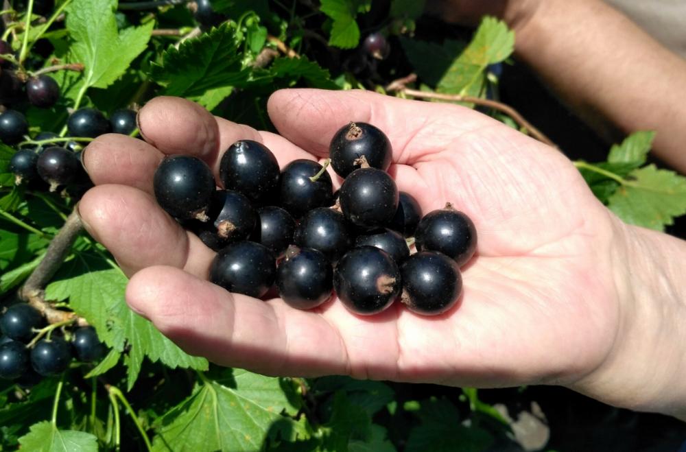 Описание смородины сорта «Чёрный бумер»