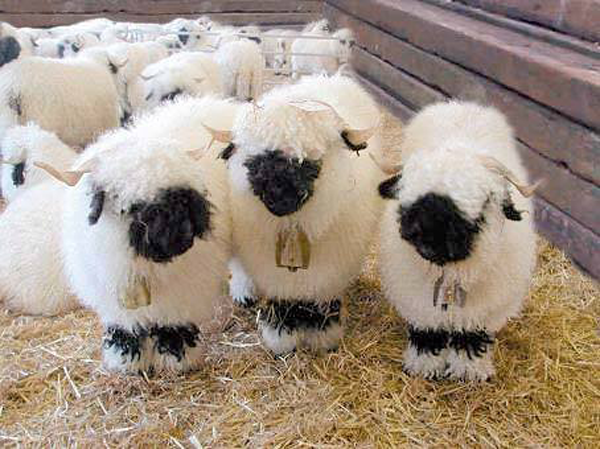 valais-blacknose-sheep8