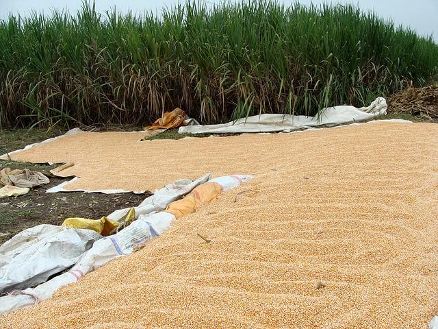 Graines de maïs jaune étalées pour séchage avant stockage et conservation