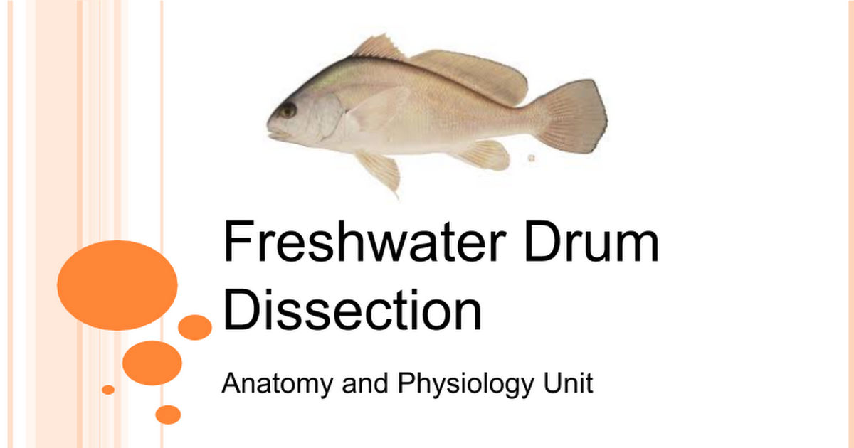 Freshwater Drum Dissection - Google Slides