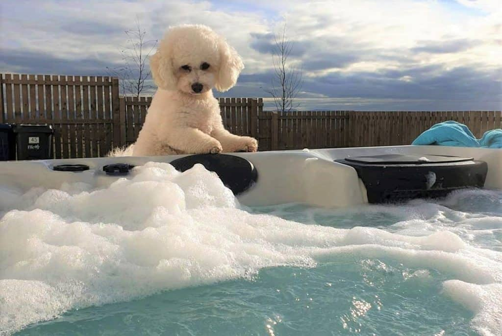 a Bichon Frise looking into a jacuzzi full of water and bubbles