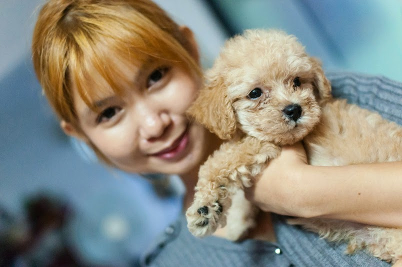 dom toy poodle pet dog