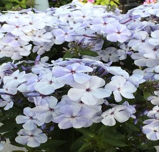 https://www.vitroflora.pl/img/produkty/rosliny/_big/byliny-i-trawy_flame_76305_2.jpg