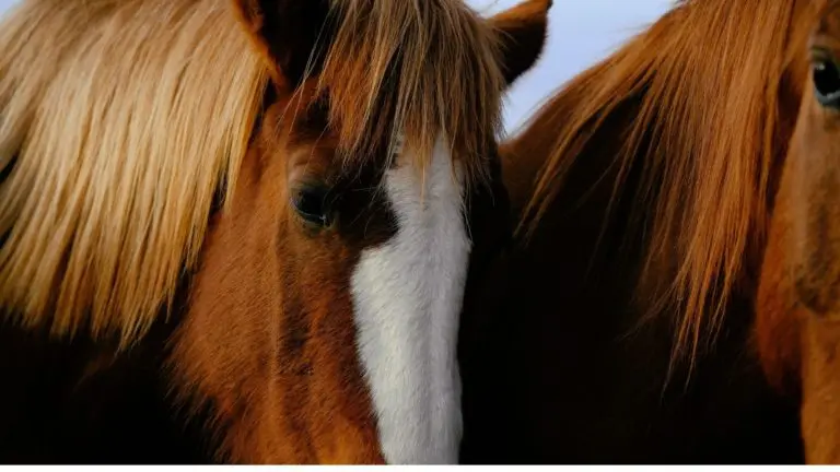 A flaxen sorrel horse with mane color lighter in shade than the body