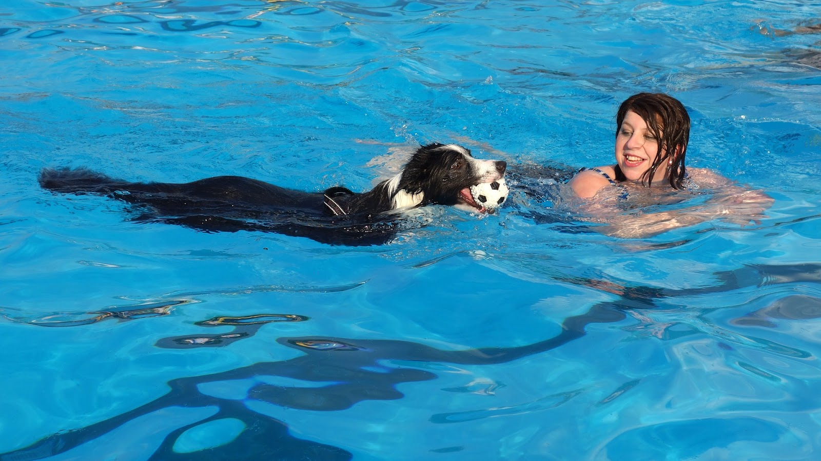 black and white dog swimming in a pool with his owner in a pool, with a ball in his mouth