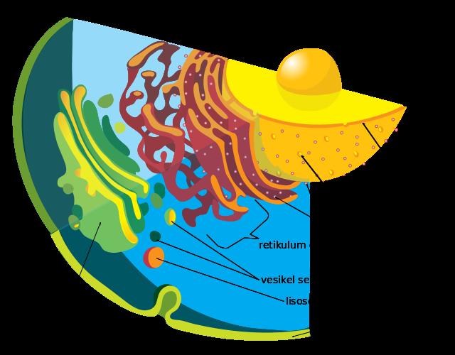 Berkas:Endomembrane system diagram id.svg
