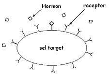http://3.bp.blogspot.com/-CwYFB5fA5Qc/TtovmCbTuII/AAAAAAAAADI/iJIWi_nhwj4/s1600/hormon+peptida.jpg