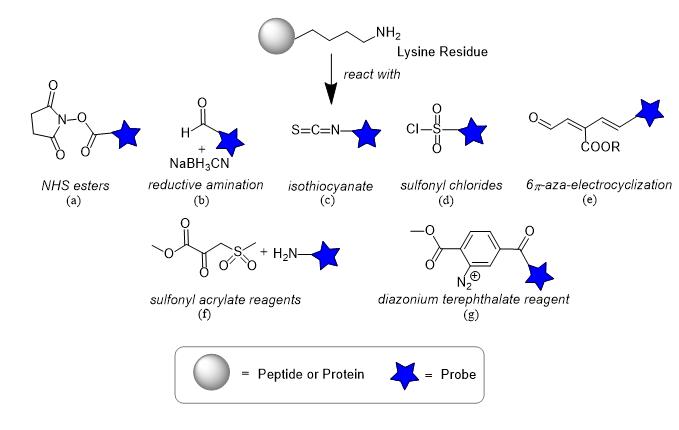 Amine bioconjugation techniques for proteins