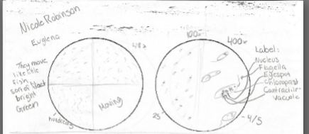 nicole robinson s bio 20 blog micro anism lab Spirostomum Diagram draw and label nucleus flagella eyespot chloroplast contractile vacuole