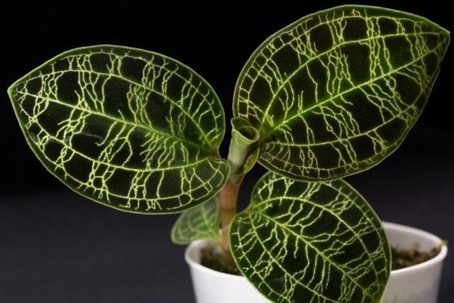 Пестролистная орхидея
