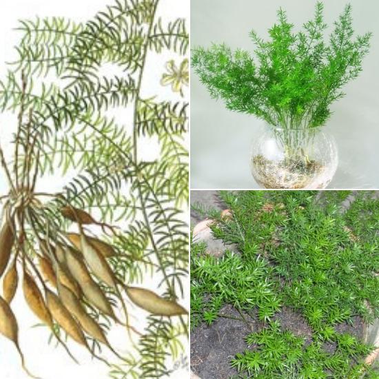 Loại cây này dùng để chữa bệnh rất tốt