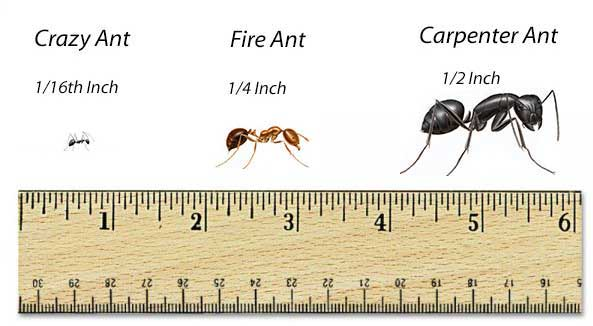 comp ant scale