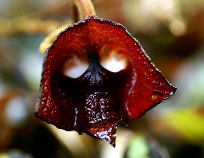Aristolochia Salvadorensis
