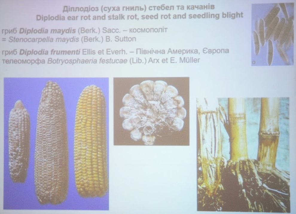 Диплодіоз, або суха гниль кукурудзи