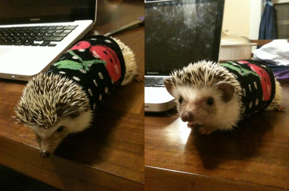 a hedgehog wearing a sweater