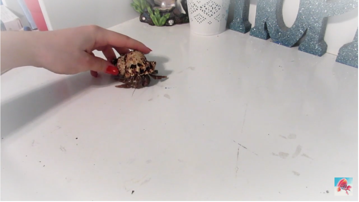 Hermit crab out of shell
