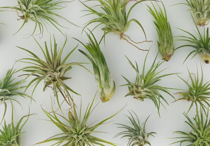 air plant home office gift idea for plant lover