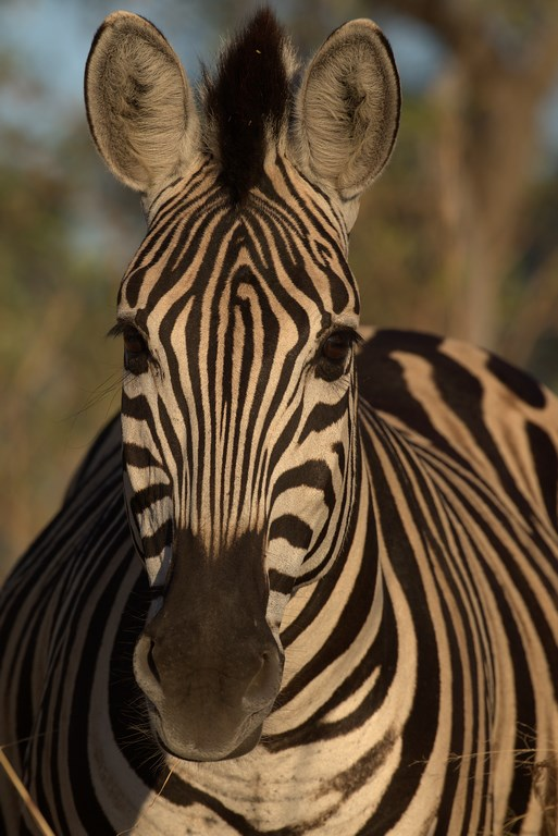 plains zebra (Copy).jpg