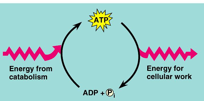【あなたの競技のエネルギー源は何?】 トレーニングにおけるエネルギー供給系の理解