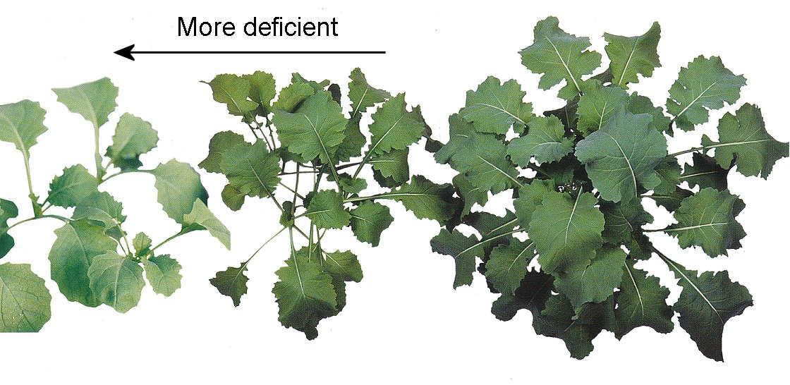 Copper deficiency in canola plants.