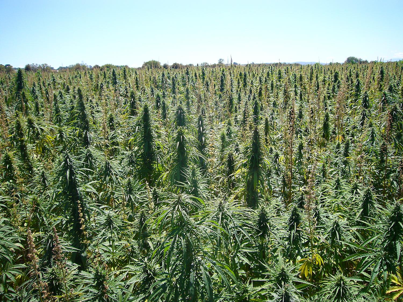 beautiful hemp crop - wow
