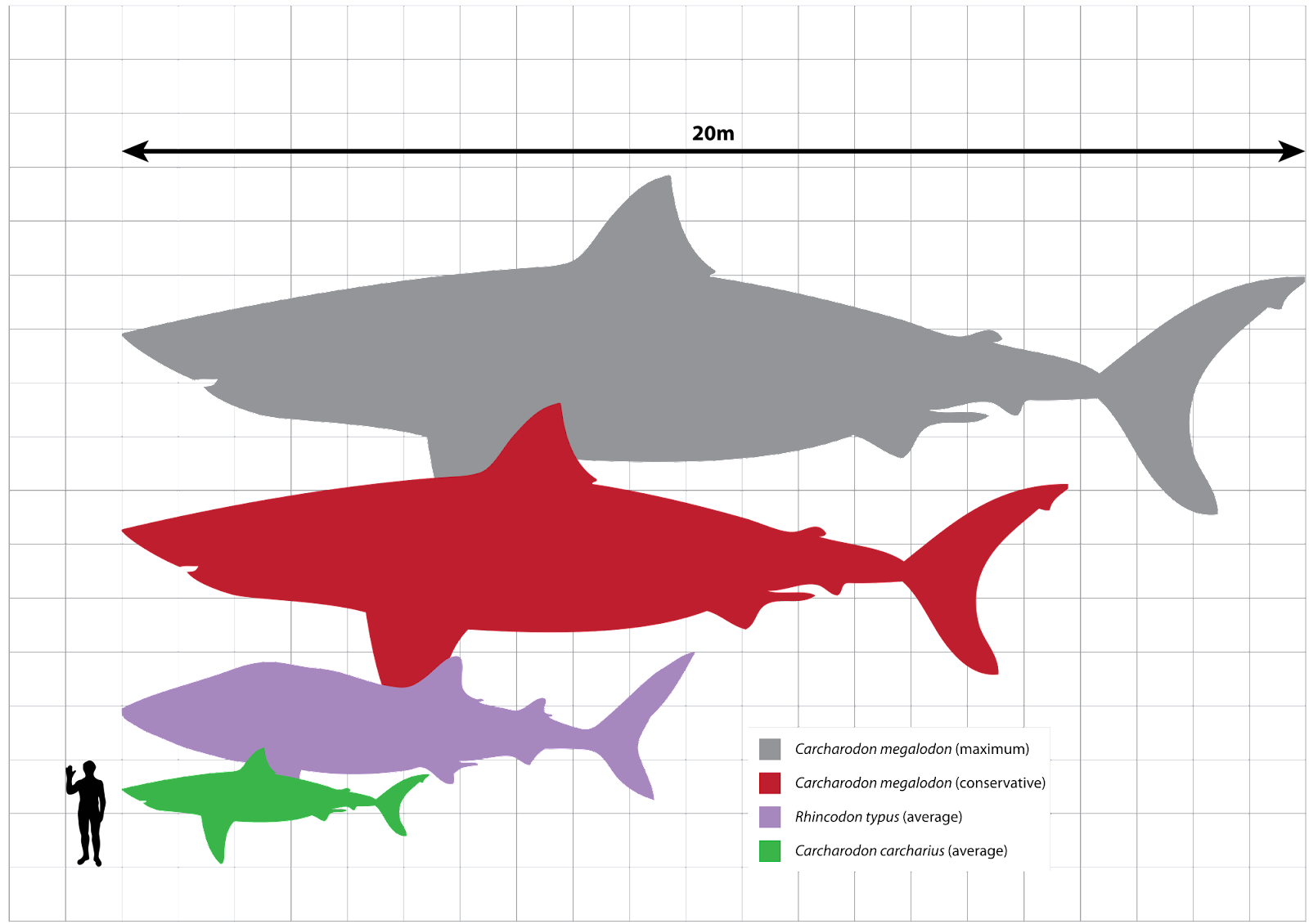 https://upload.wikimedia.org/wikipedia/commons/thumb/4/4d/Megalodon_scale.svg/2000px-Megalodon_scale.svg.png